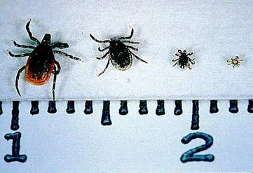 Deer Tick life stages
