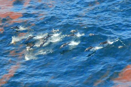 A dolphin pod swimming through an oil spill.