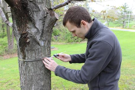Student measuring the gap width on a tree band at Penn State Brandywine, Media, PA
