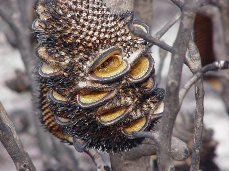 Banksia cone seeding after fire