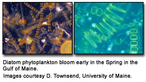 diatom phytoplankton that bloom in the Gulf of Maine