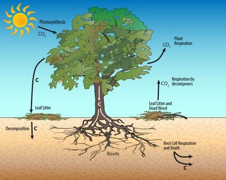 Carbon cycle in a single tree