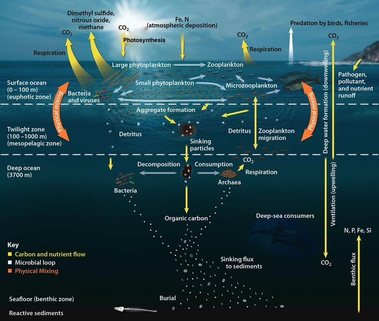 The Ocean Carbon Cycle. Credit: Oak Ridge National Laboratory