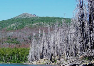 Pine Bark Beetle Infestation