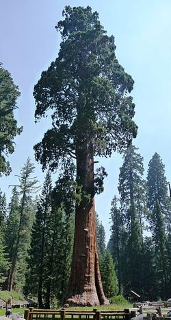 Sequoia National Park-Sentinal Tree