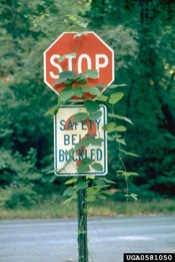 Kudzu vine on Stop sign