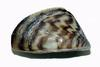small zebra mussel image