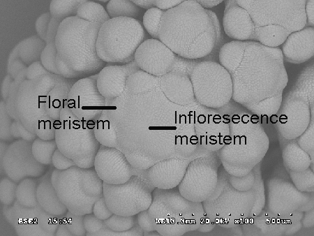 SEM Cauliflower Inflorescence