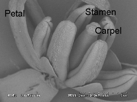 Broccoli flower SEM