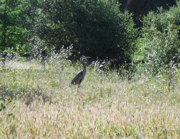 Heron on the Stanford University campus