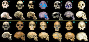 Chimp skull followed by a chronologic succession of hominid skulls