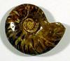 An opalized ammonite fossil