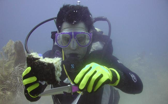 Volunteer diver collecting sponge sample at Conch Reef Key Largo.