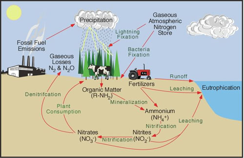 Figure suplied by Michael Pidwirny depicting the nitrogen cycle