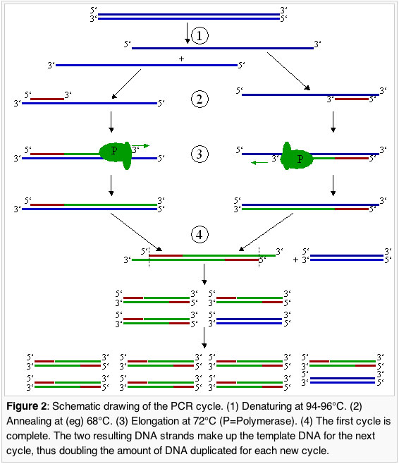 Diagram of the mechanics of PCR.