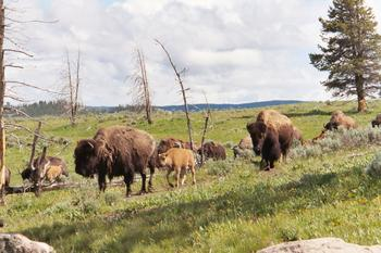 Bison herd in southern MT.