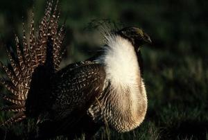 Male Sage-Grouse (Centrocercus urophasianus).