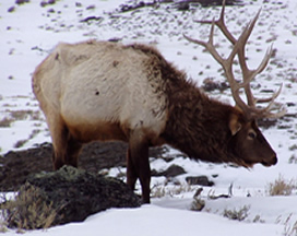 Elk in winter.