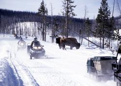 Snowmobiles passing bison in Yellowstone National Park.