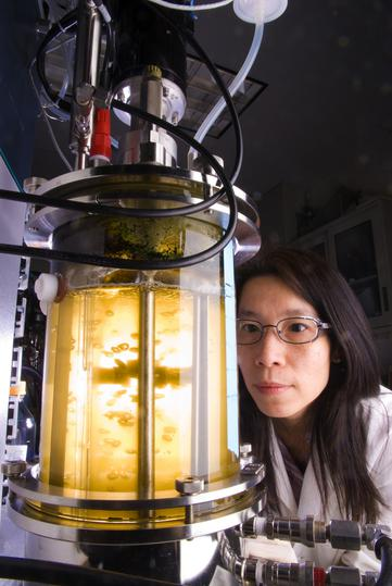 Algae photobiorector