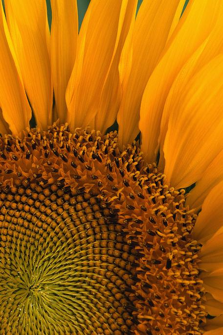 The spiraling seeds of a sunflower