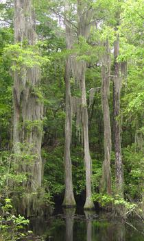 Cypress forest pond with Spanish moss