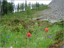 Example of timberline advance into an alpine meadow
