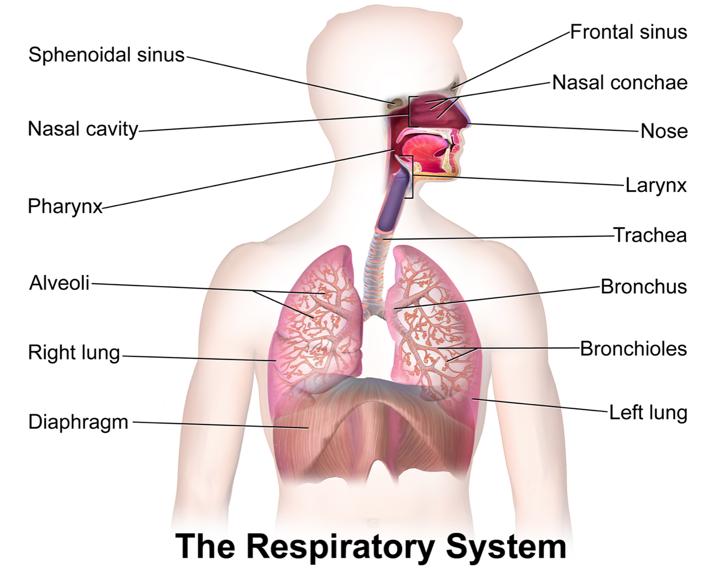 labeled diagram of the lungs/respiratory system., Human Body