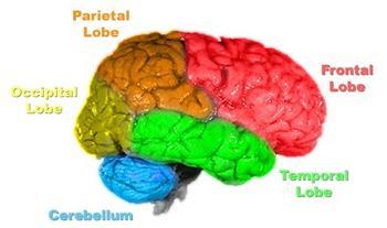 Principal lobes of the human brain