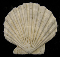 chesapecten fossil