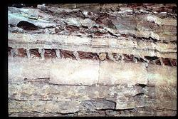 Cross section of mudcracks in Glacier National Park, Montana.