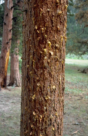 Bark Beetles and Fire