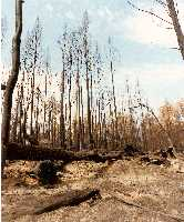 Burnt woods in Victoria due to 1983 bushfires