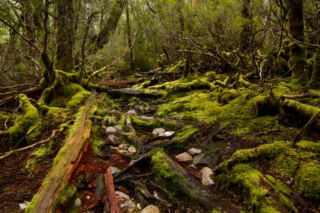 New Zealand South Island beech forest