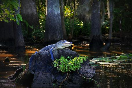 Alligator in a Louisiana swamp