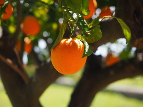 A Florida Orange Tree