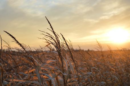 A midwestern corn field