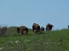 Bison on Konza Prairie