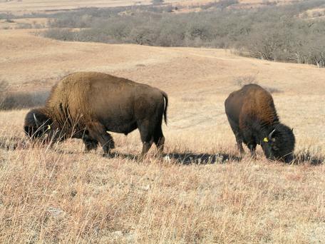 Bison on Konza Prairie
