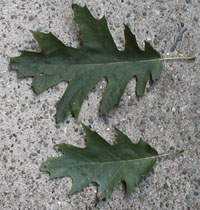 Photos of shade and sun leaves from red oak