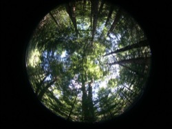 Fish eye view of a maine forest