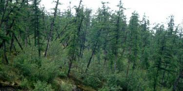 druken forest