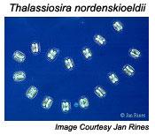 Thalassiosira nordenskioeldii image