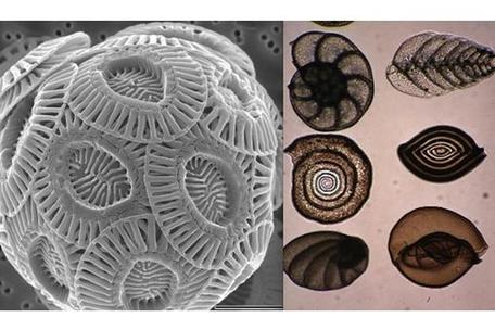 Coccolithophore and Foraminifera Shells