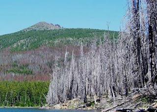 Pine Bark Beetle Infestation