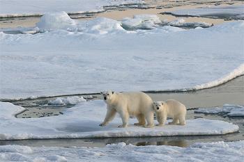 Polar Bears on sea ice