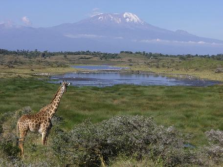 Snow-capped Kilimanjaro and Giraffes