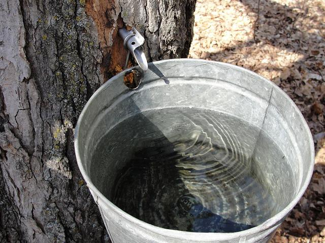 Maple sap bucket