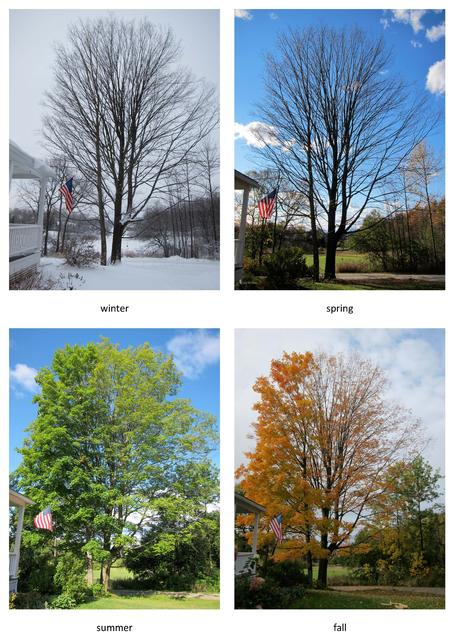 maple tree 4 seasons