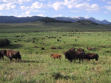 montana buffalo lg